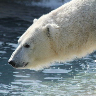 Polar Bears 'R Us, Unless We Change